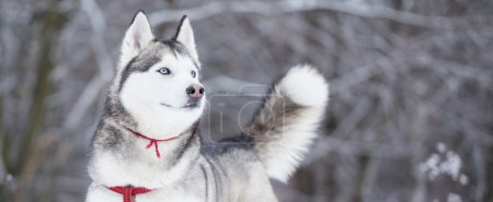 Portrait of Siberian Husky in winter.