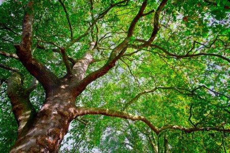 Photo pour Vieil Arbre aux branches torsadées - image libre de droit