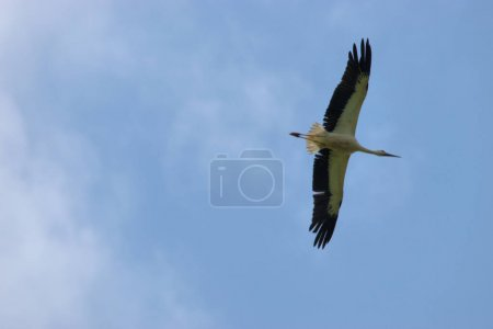 Stork with spreaded wings is gliding in the sky ov...