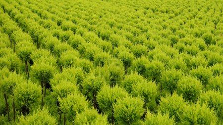 Photo pour Des milliers de petits conifères poussaient dans une serre chauffée. Le tout bien aligné en ligne droite dans une belle couleur vert clair . - image libre de droit