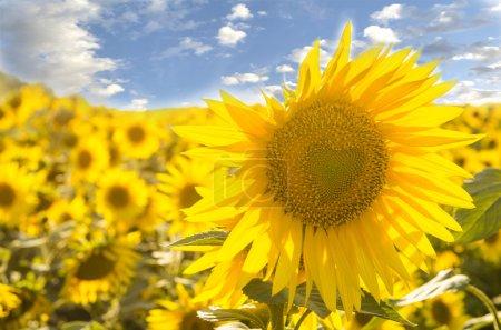 Photo pour Beau grand tournesol avec symbole de coeur, gros plan - image libre de droit
