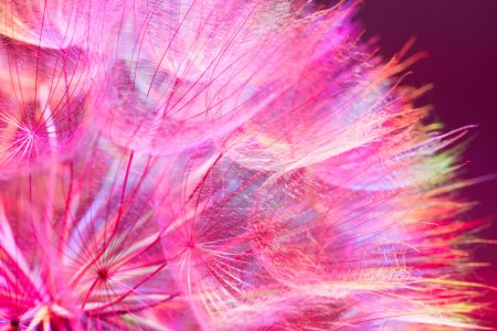 Colorful Pink Pastel Background - vivid abstract dandelion flowe