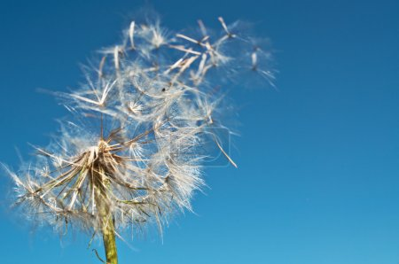 Photo for Dandelion's seeds flying away - Royalty Free Image
