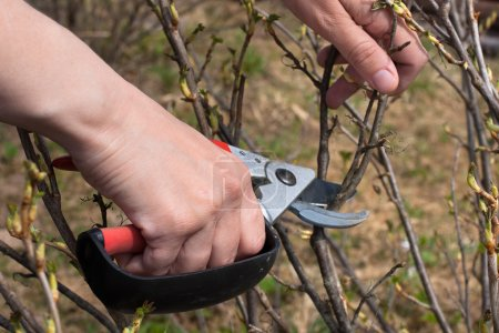 Hands pruning black current with secateurs