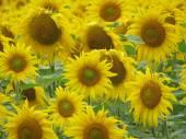 Mnoho slunečnice kvetou v oblasti na Ukrajině