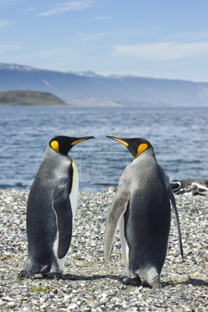 Two king pinguins near sea