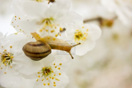 Snail on the flowering tree