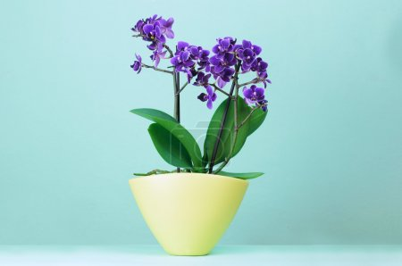 purple orchid flower in yellow pots on a light blue background