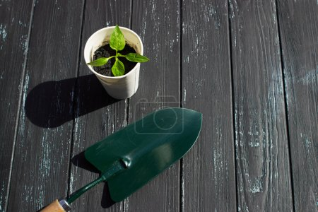 Seedling tomato in white cup, a shovel and a rake on a wooden background