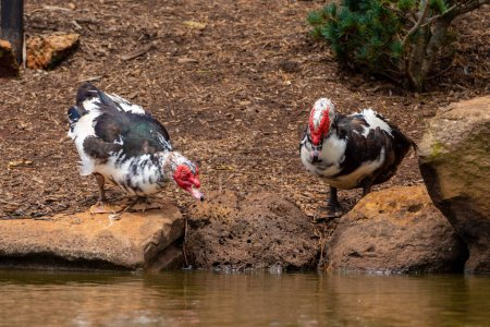 Photo for Two Muscovy ducks by the lake taking turns to drink at Toowoomba Japanese Gardens - Royalty Free Image