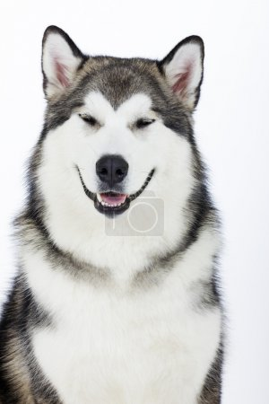 Dog breed Alaskan Malamute on a white background