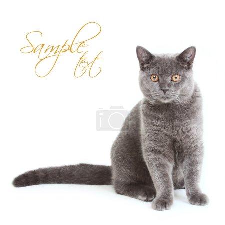 British Shorthair kitten sitting