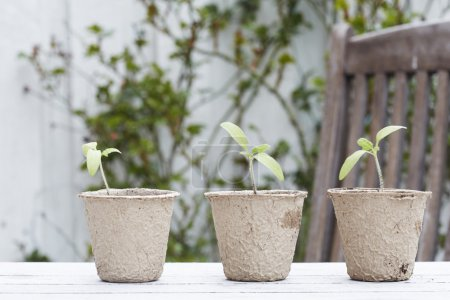 Seedling plants growing in pots