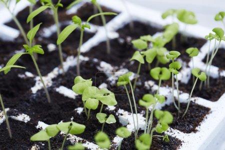 Photo pour Plantes de semis poussant dans le plateau - image libre de droit