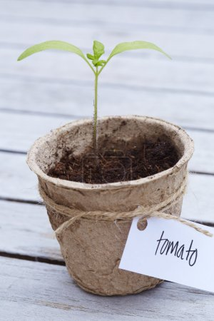 Labeled tomato plant
