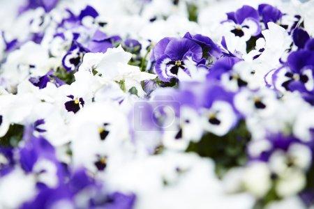 White and purple garden pansies