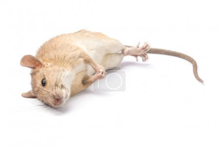 Dead rat Isolated on White