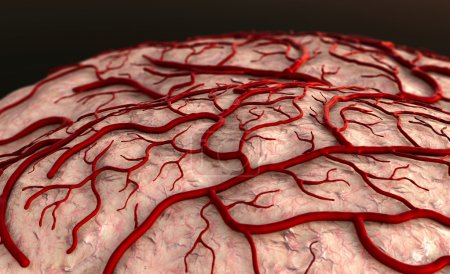 Photo for Brain Model, brain surfase, insult, circulatory system, disease, heart attack, Capillary - Royalty Free Image