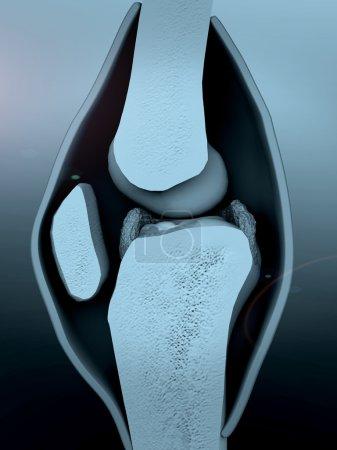 human knee, knee