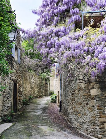Blooming wisteria on the street of French village