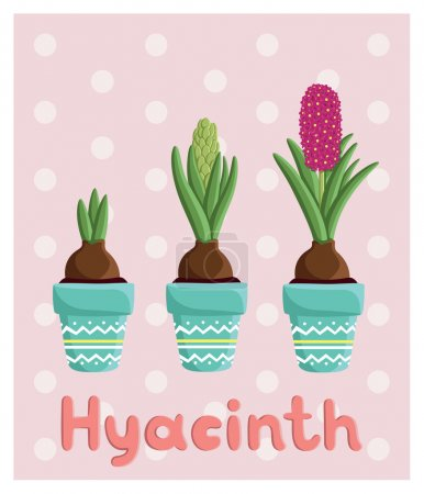 Photo for Set with three hyacinths in pots: bulb, bud, flower. For postcards, prints, posters, background, textiles - Royalty Free Image