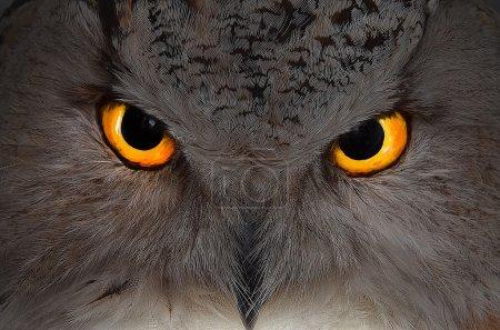 Photo pour La tête d'un hibou aigle de près avec des yeux mystiques - image libre de droit