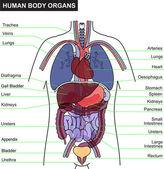 human body organ