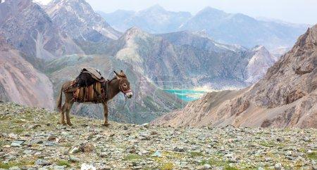 Cargo donkey in mountain area