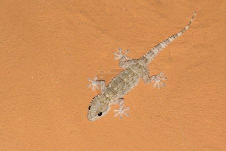 Tarentola mauritanica, mediterranean gecko on an orange ceiling