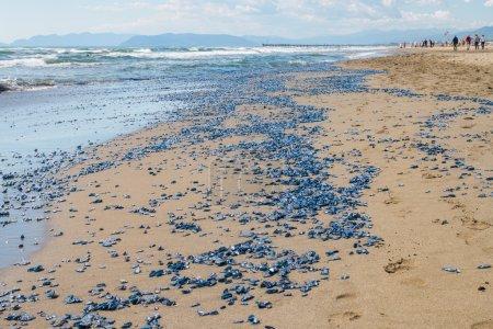 Photo pour Des millions de vellelles mortelles (radeau de mer, marin près du vent, voile violette, petite voile) échouées à forte dei marmi versilia - image libre de droit