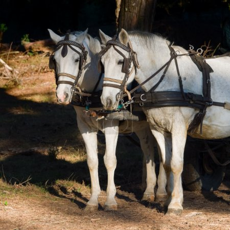 two  white work horses with harnesses and blinkers  hitched
