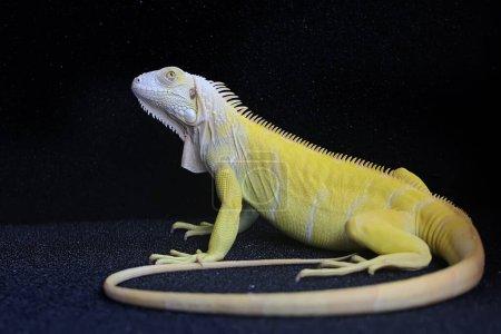 Photo for A yellow iguana (Iguana iguana) with an elegant pose. - Royalty Free Image
