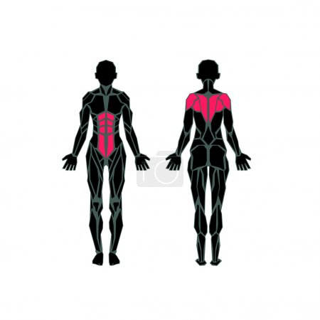 Polygonal anatomy of female muscular system, exercise and muscle guide. Women muscle vector art, back view.