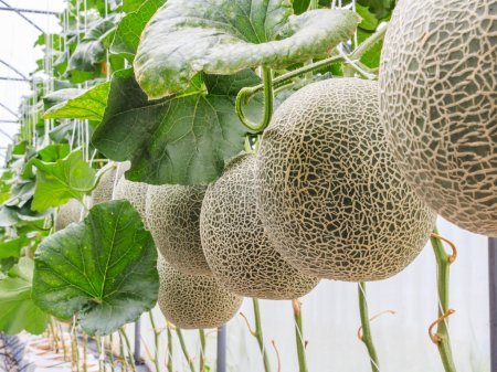 Photo pour Melon cantaloup de plus en plus dans une serre soutenue par photo en stock string melon filets - image libre de droit
