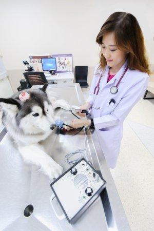 Young veterinarian examining cute siberian husky