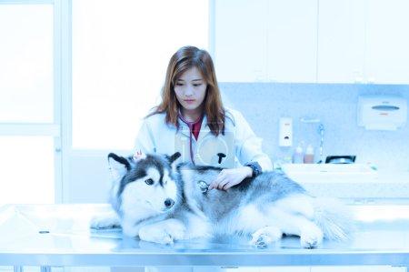 Young veterinarian examining cute siberian husky at hospital