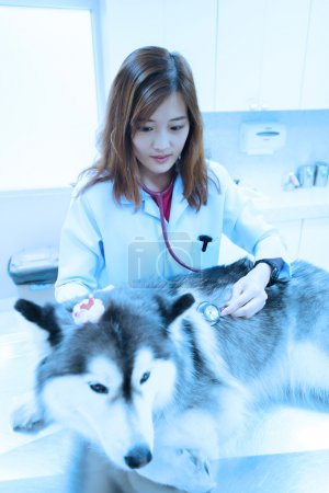 Young veterinarian examining cute siberian husky at hospital
