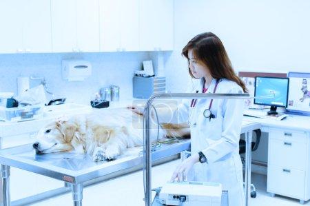 Veterinarian examining cute golden retriever at hospital