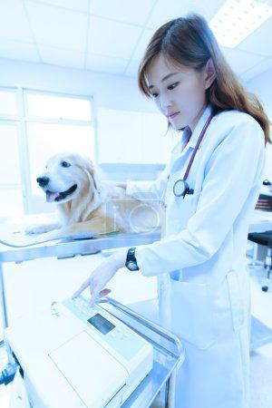 Young veterinarian examining cute golden retriever at hospital