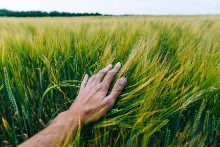 Wheat field with farmer's hand, green field with e...