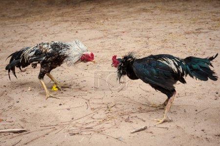 Fighter cocks