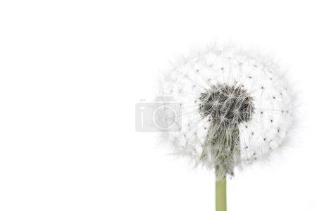 Photo pour Pissenlit pelucheux isolé sur fond blanc, macro . - image libre de droit