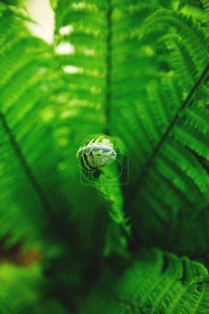 Single young fern