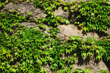 Old stone wall and green ivy