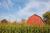 Red Barn Behind Tall Corn with Blue Sky
