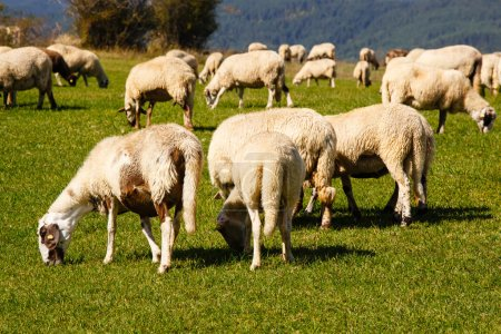 Herd of sheep grazing on a meadow...
