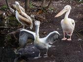 Skupina od pelikánů