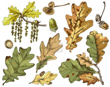 Illustration for Hand drawn illustration of yellow and green withered oak leaves. For autumn illustrations, wrapping paper, school cards. Vector illustration - Royalty Free Image