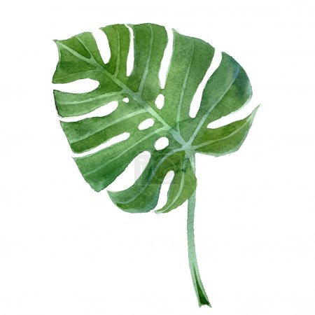 Illustration for Watercolor  hand drawn monstera leaf - Royalty Free Image