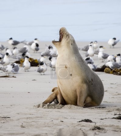 Sea lion yawning